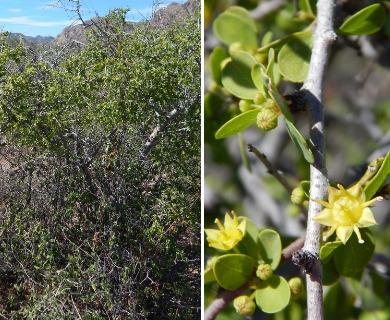 Colubrina viridis