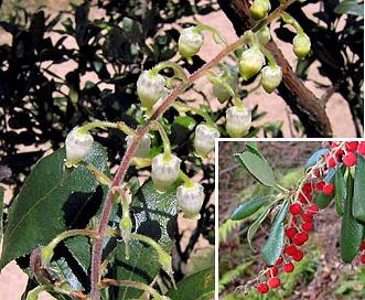 Comarostaphylis diversifolia