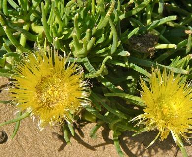 Conicosia pugioniformis