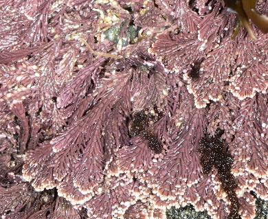 Corallina vancouveriensis