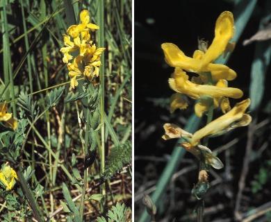 Corydalis crystallina