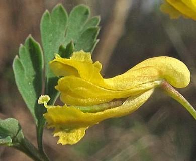 Corydalis flavula