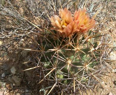 Coryphantha robustispina