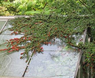 Cotoneaster horizontalis