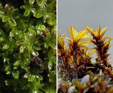 Crumia latifolia