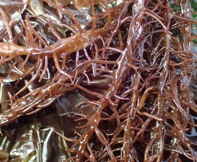 Cumagloia andersonii