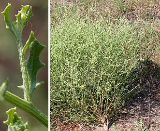 Cycloloma atriplicifolium