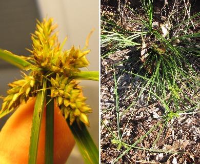 Cyperus aggregatus