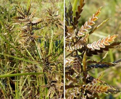 Cyperus flavicomus