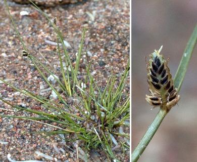 Cyperus laevigatus