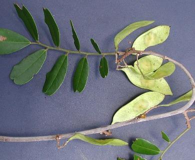 Dalbergia glabra