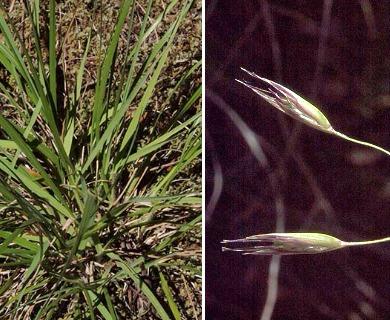 Danthonia californica