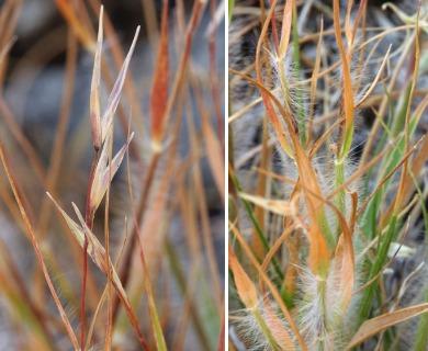 Danthonia unispicata