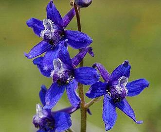 Delphinium barbeyi