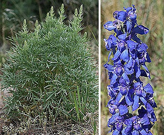 Delphinium geyeri