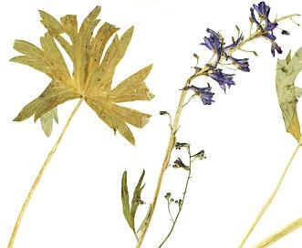 Delphinium glaucescens