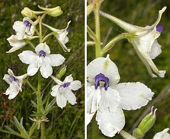 Delphinium pavonaceum