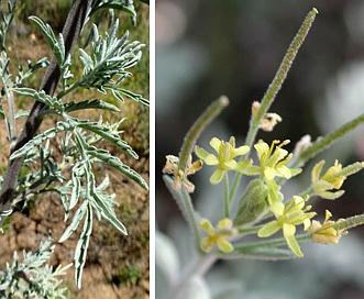 Descurainia obtusa