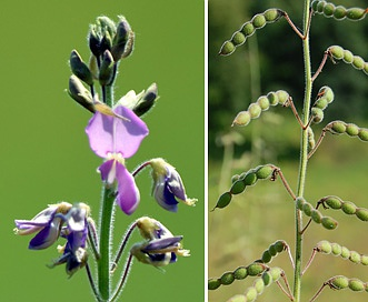 Desmodium illinoense