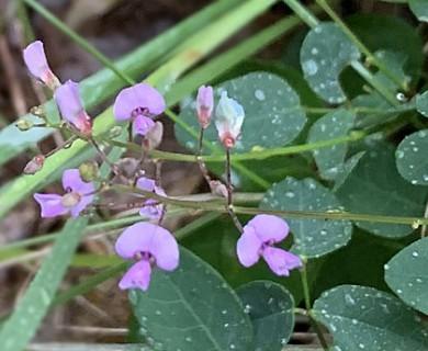 Desmodium marilandicum