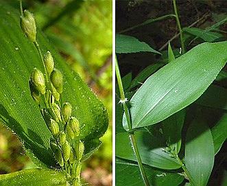 Dichanthelium boscii