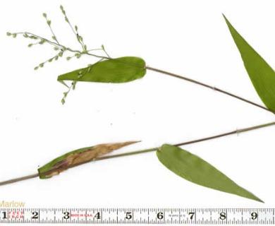 Dichanthelium ravenelii