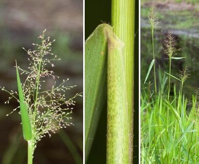 Dichanthelium scabriusculum