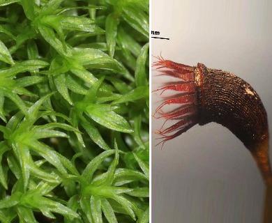 Dichodontium pellucidum