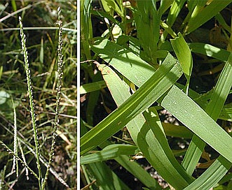 Digitaria ischaemum