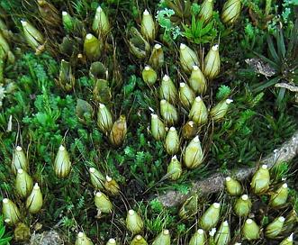 Diphyscium foliosum