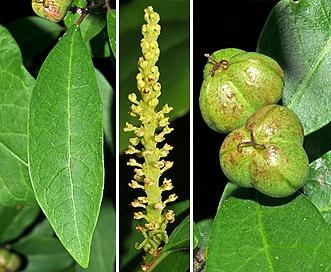 Ditrysinia fruticosa