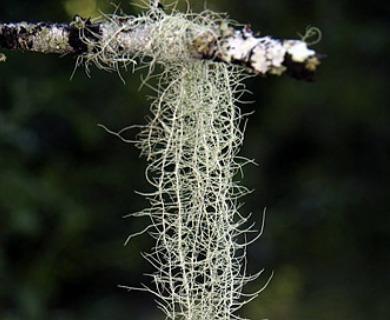 Dolichousnea longissima