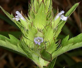 Dracocephalum parviflorum