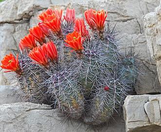 Echinocereus coccineus