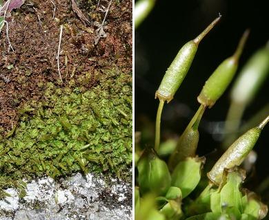 Encalypta ciliata