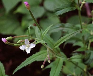Epilobium coloratum