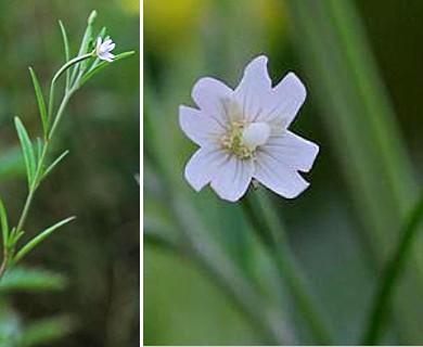 Epilobium leptophyllum