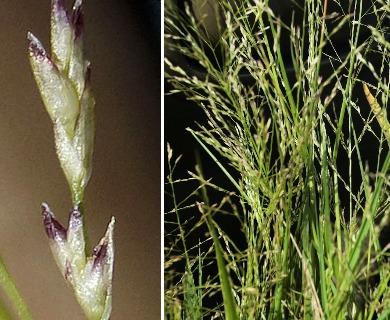 Eragrostis frankii