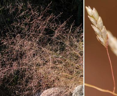 Eragrostis intermedia