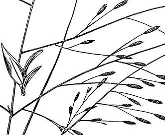 Eragrostis refracta
