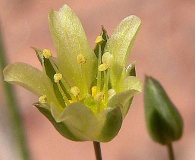 Eremogone macradenia