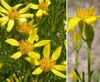 Ericameria linearifolia