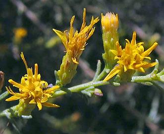 Ericameria palmeri