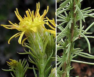 Ericameria pinifolia