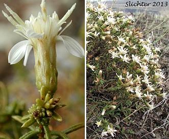 Ericameria resinosa