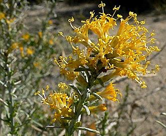Ericameria teretifolia