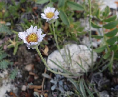 Erigeron radicatus