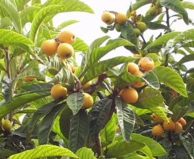 Eriobotrya japonica