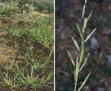 Eriochloa contracta