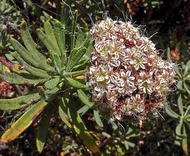 Eriogonum arborescens